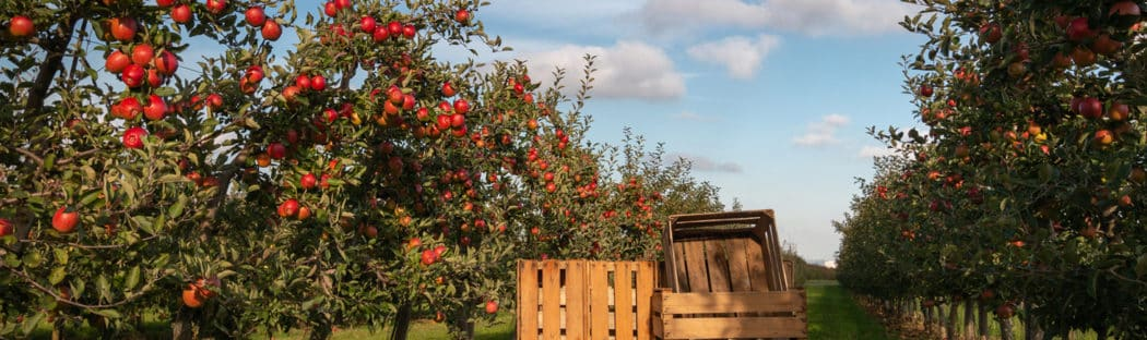 Crates in an apple orchard